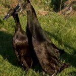 Trio of Black Indian Runner Ducks