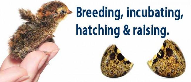 Breeding Quail