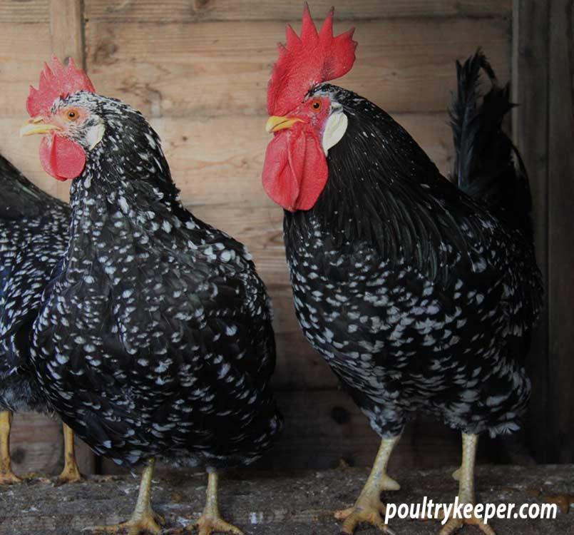 Breeding Pen of Large Ancona Chickens