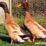 Brown and Buff Orpington Drakes