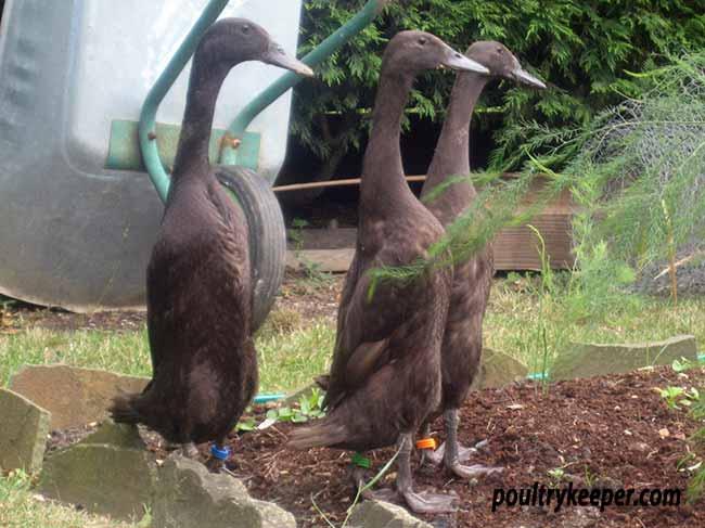 chocolate indian runner ducks