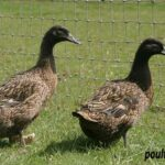 Dark Campbell Ducks
