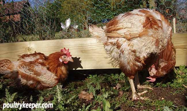 Ex-Battry-Hens-in-Garden