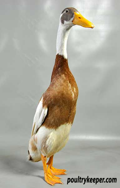 Fawn and White Indian Runner Duck