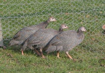 Guinea Fowl Keets