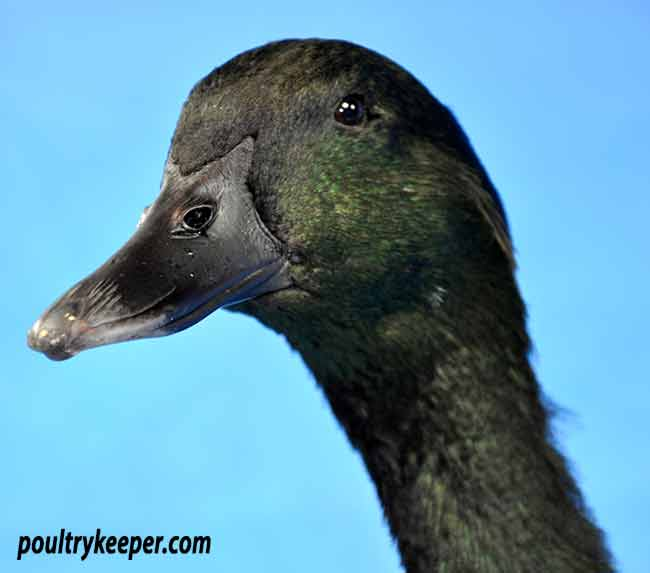 Head of Cayuga Duck