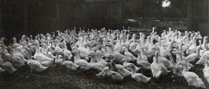 History of Aylesbury Ducks