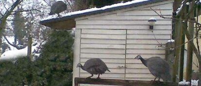 Housing Guinea Fowl