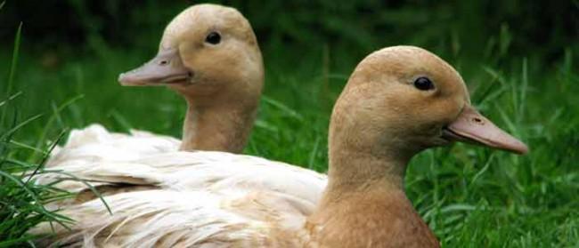 Call Ducks on Grass
