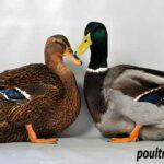 Pair of Rouen Ducks