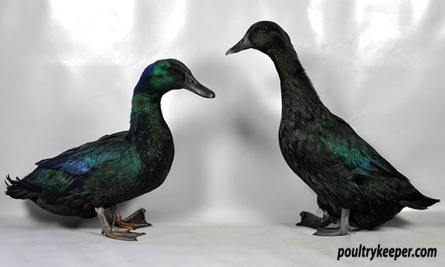 Pair of Cayuga Ducks