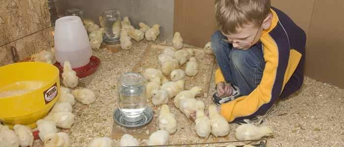 Rearing Chicks