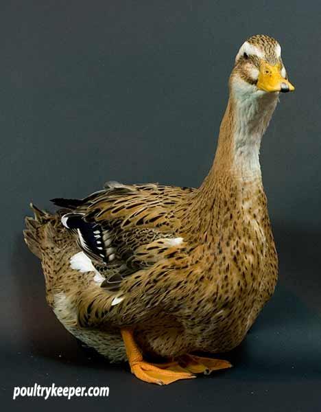 Rouen Clair Duck