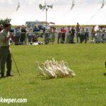 Sheep Dog Training with Indian Runner Ducks