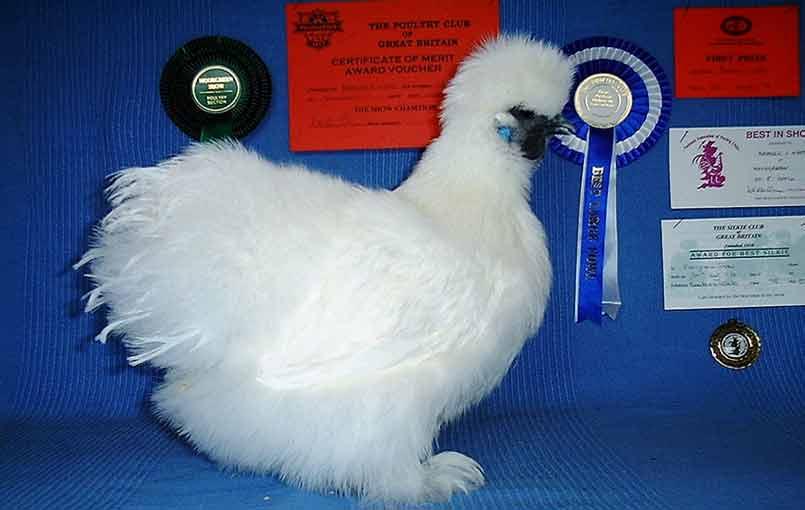 White Silkie Chicken