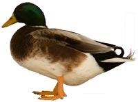 Silver Bantam Duck