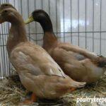 Trio of Buff Orpington Ducks.