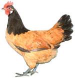 Vorwerk Chicken