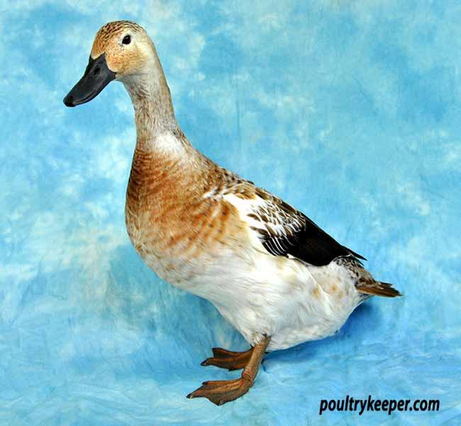 Welsh Harlequin Duck