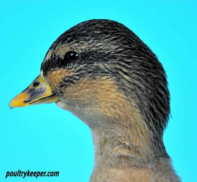 how to call mallard ducks