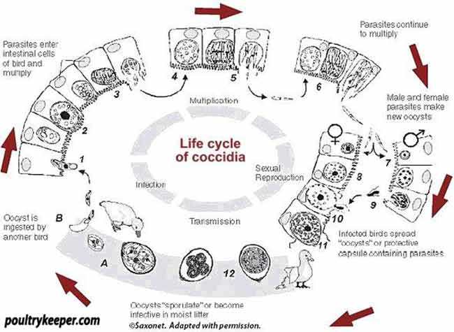 Coccidia Life Cycle