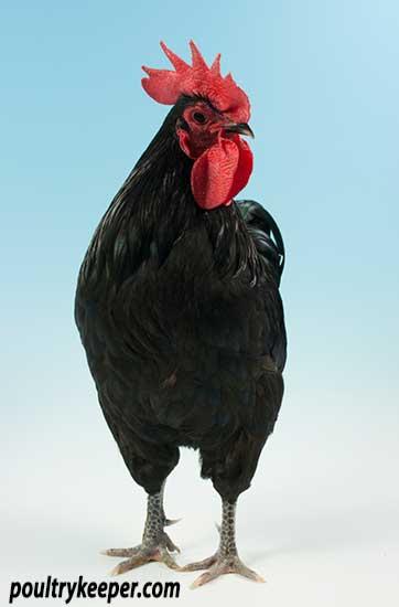 Black Australorp Male