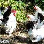 Black Tailed White Japanese Bantams