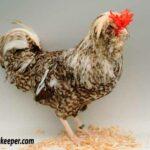 Cuckoo Houdan