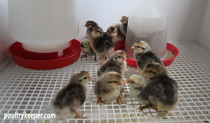 Day old chicks in brooder