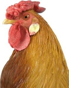 Head of Marsh Daisy Chicken