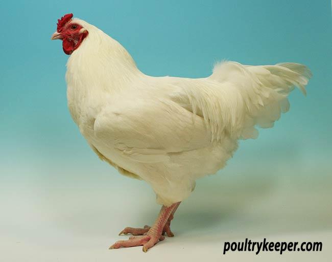 Ixworth Chicken
