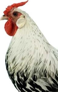 Silver Spangled Hambrugh Chicken Head