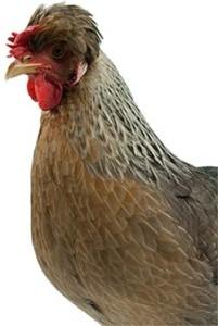 Head of Legbar Chicken