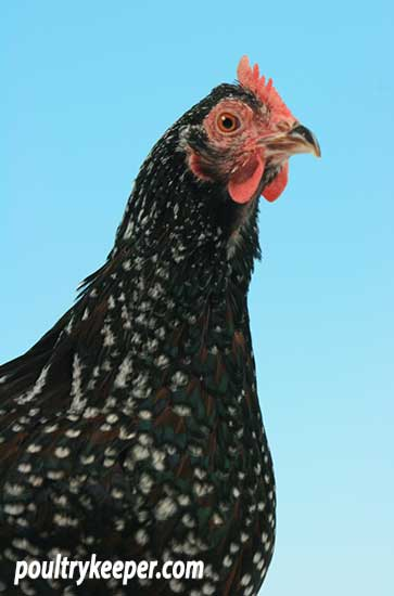Head of Speckled Sussex Bantam