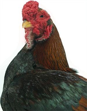 Head of Yamato Gunkei Chicken