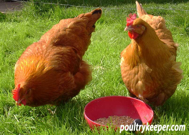 Licolnshire Buff Chickens