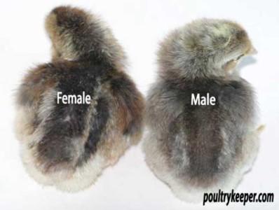 Sexing Cream Legbar Chicks