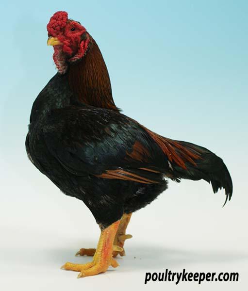 temperament of different chicken breeds