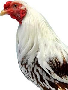 Head of Yokohama Chicken