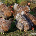 Flock of Blue Laced Wyandottes