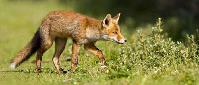 Fox-Repellant-feat