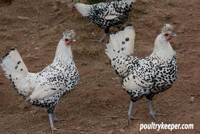 Silver Appenzeller Chickens
