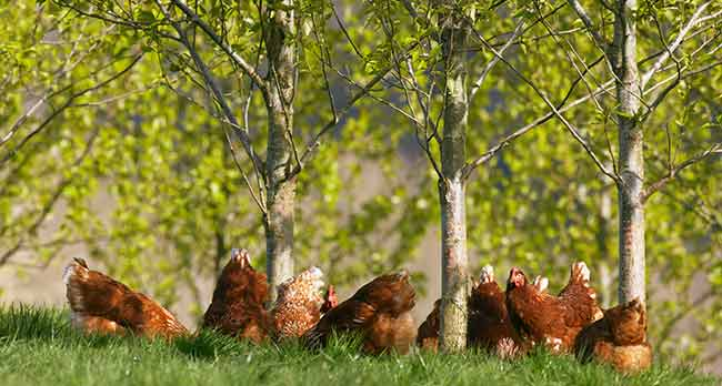 Chickens Foraging Amongst Trees