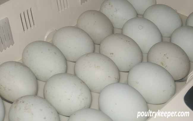 Duck Eggs in Incubator