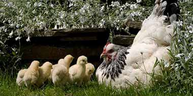 Caring for a broody hen
