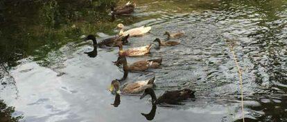 Releasing Domestic Ducks