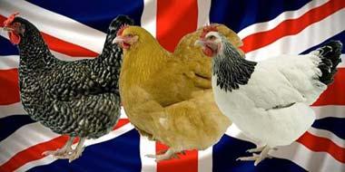 Best British Chicken Breeds