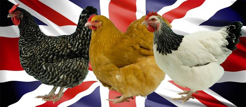 Traditional British Chicken Breeds