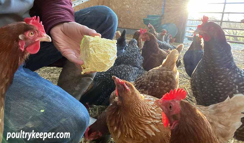 Chickens Kept Indoors
