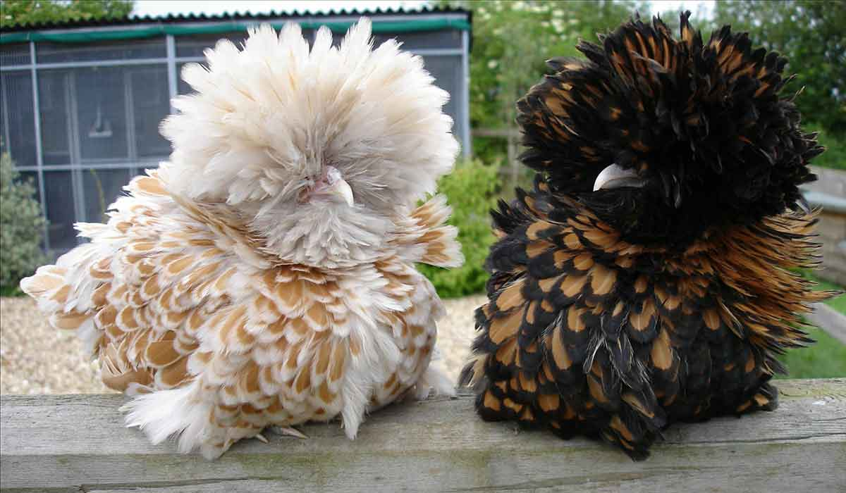 Chamois and Gold Laced Frizzle Polands